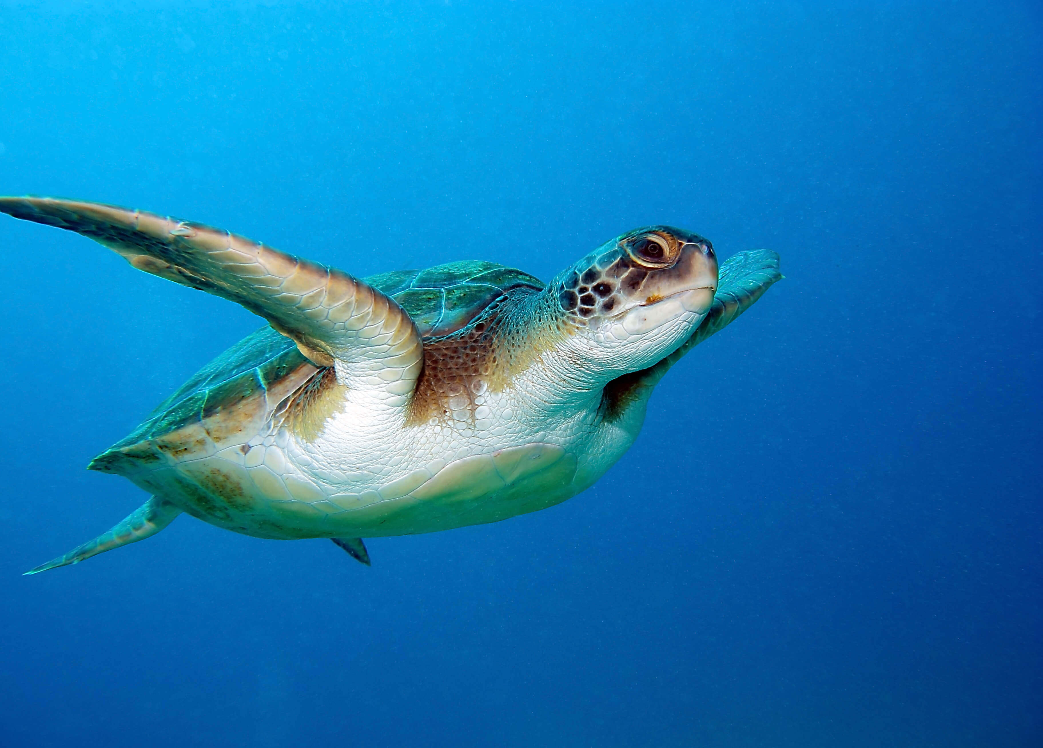 north cyprus green turtle