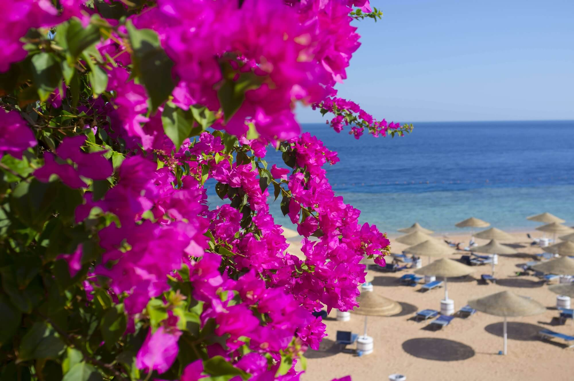 bougainvillea flower pink beach north cyprus